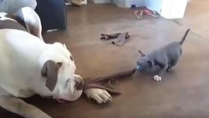 Den lille bitte hvalp kæmper med en langt større pitbull. Denne optagelse vil sæ