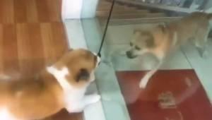 Se hvordan to hunde gør indestængt af hinanden gennem glasdøren. Reaktionen da d