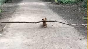 Ganske vidunderlig: denne lille gravhund elsker at samle pinde ... Jo større, jo