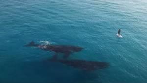 Se hvad der sker, da to hvaler ser et menneske svømme i nærheden…Wow!